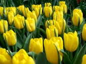 tulip-strong-gold-5_x2000_crop_center_0